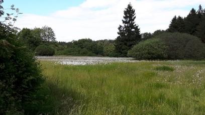 Wollgras auf dem Hochmoor