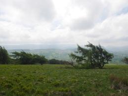 Wingepeitschte Bäume / Wind-swept trees
